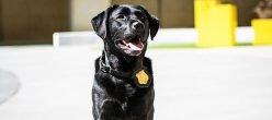 Cybercrime Labrador K9 Sniffer Usa Cyberdog Cyber IT Usb Terrorismo Criminiinformatici Hightech